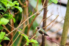 Bird: Male Hummingbird Stock Image