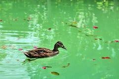Bird: male mallard (wild duck) Stock Photo