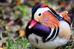 Bird, Male Mandarin Duck Royalty Free Stock Photo