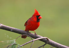 Bird - Male Northern Cardinal royalty free stock photography