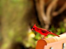 Bird, male Northern Cardinal Royalty Free Stock Photo