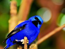 Bird, male Purple Honeycreeper Stock Images