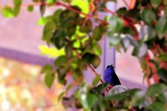 Bird, Male red-legged honeycreeper Royalty Free Stock Photo