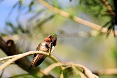 Bird, male Ruby-throated Hummingbird Stock Images