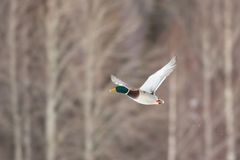 Bird Mallard Anas platyrhynchos in flight.  Stock Photos
