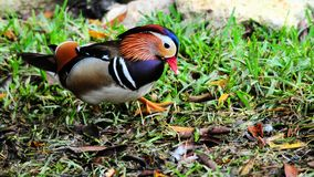Bird, Mandarin Duck Royalty Free Stock Photography