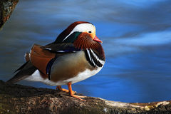 Bird Mandarin Duck, Aix galericulata, sitting on the branch with blue water surface in background. Europe Royalty Free Stock Image