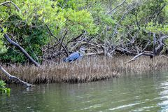 Bird in the mangrove swamp royalty free stock photo
