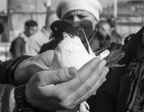 In the bird market, fluttering dove on hand. Stock Photos