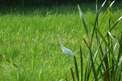 Bird in marshes. An intermediate egret is foraging in marshes in search of fish, frogs, crustaceans and insects stock photo