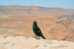 Bird in Masada Israel. A beautiful little bird watching the impressive scenery that offers Masada fortress in the desert and the dead sea in Israel Middle East royalty free stock images