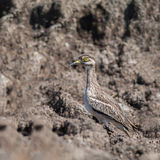 Bird in meadow. Indian Thick-knee Burhinus indicus, beautiful bird in grassland Royalty Free Stock Photography