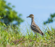 Bird in meadow. Royalty Free Stock Images
