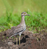 Bird in meadow. Indian Thick-knee Burhinus indicus, beautiful bird in grassland Royalty Free Stock Photos