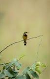Bird (Merops variegatus) in Conkouati Douli national park, Congo. Royalty Free Stock Photos