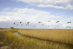 Bird migrating Royalty Free Stock Image
