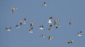 Bird, Migration birds Eurasian Curlew Royalty Free Stock Photos