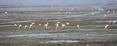 Bird migration in climate change. Migration Red flamingo birds feed in marsh land around Mumbai port swamp land. Every year thousands birds fly in marshy land in Stock Photo
