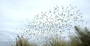 Bird migration in dunes - netherlands royalty free stock images