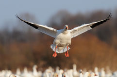 Bird migration flying snow geese Royalty Free Stock Photo