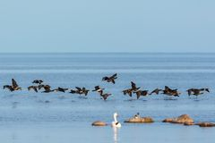 Bird migration with Great Commaran Stock Photography