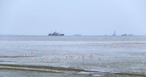 Bird migration in Mumbai harbor. Migration Red flamingo birds feed in marsh land around Mumbai port swamp land. Every year thousands birds fly in marshy land in Stock Photos