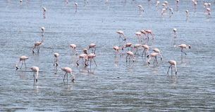 Bird migration in Mumbai harbor. Migration Red flamingo birds feed in marsh land around Mumbai port swamp land. Every year thousands birds fly in marshy land in Royalty Free Stock Photos
