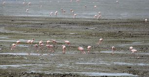 Bird migration in Mumbai harbor. Migration Red flamingo birds feed in marsh land around Mumbai port swamp land. Every year thousands birds fly in marshy land in Royalty Free Stock Image