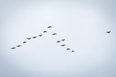 Bird migration. Search for new home Stock Image