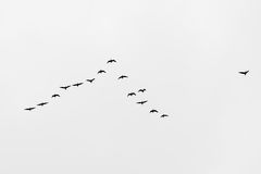 Bird migration. Search for new home Stock Photos