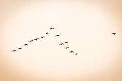 Bird migration. Search for new home in sunset Stock Images