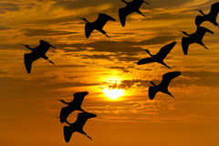 Bird Migration Silhouette Stock Images