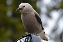 Bird on a mirror. Grey white black bird sitting on car mirror waiting for food Stock Photo