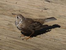 Bird (mistlethrush) on timber deck Stock Images