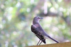 Bird, Mocking Bird, Song Bird, Wild Stock Photos