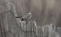 Bird - Mockingbird Stock Photos