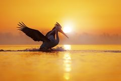 Bird with morning sunrise. Dalmatian pelican, Pelecanus crispus, in Lake Kerkini, Greece. Pelican with open wings. Wildlife scene royalty free stock photography