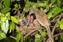 Bird mother feeding baby in forest nature. Bird mother family streak-eared bulbul or pycnonotus conradi feeding baby in forest nature Stock Image