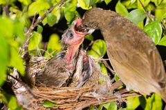 Bird mother feeding baby in forest nature. Bird mother family streak-eared bulbul or pycnonotus conradi feeding baby in forest nature Royalty Free Stock Photos
