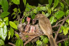 Bird mother feeding baby in forest nature. Bird mother family streak-eared bulbul or pycnonotus conradi feeding baby in forest nature Royalty Free Stock Images