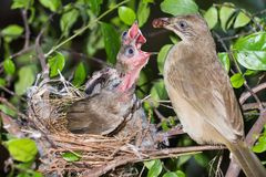 Bird mother feeding baby in forest nature. Bird mother family streak-eared bulbul or pycnonotus conradi feeding baby in forest nature Stock Photos