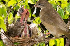 Bird mother feeding baby in forest nature. Bird mother family streak-eared bulbul or pycnonotus conradi feeding baby in forest nature Stock Photo