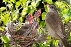 Bird mother feeding baby in forest nature. Bird mother family streak-eared bulbul or pycnonotus conradi feeding baby in forest nature Stock Photography
