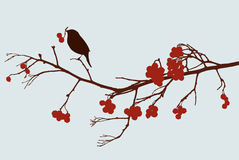 Bird on mountain ash branch vector illustration