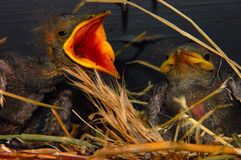 Bird with mouth open. Baby Starling birds, one with mouth wide open, waiting to be fed stock photography