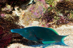 Bird Mouth Wrasse Stock Photography