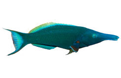 Bird Mouth Wrasse Royalty Free Stock Photography