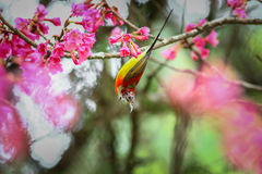 Bird,Mrs. Gould's Sunbird, Sunbird Royalty Free Stock Photo