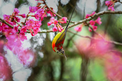 Bird,Mrs. Gould's Sunbird, Sunbird. On the DOI Inthanon, Chiang Mai Province Country Thailand Stock Photo