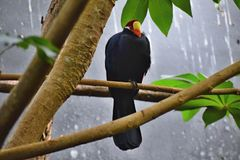 Bird of Myna on a branch... royalty free stock photo